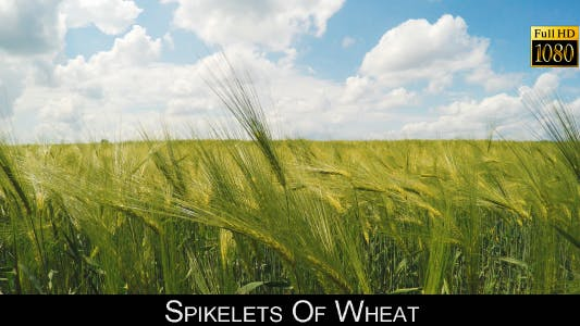 Thumbnail for Spikelets Of Wheat 4
