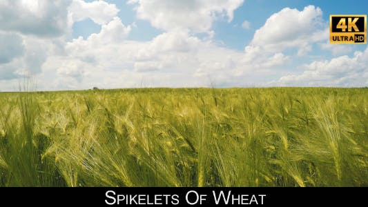 Cover Image for Spikelets Of Wheat 5