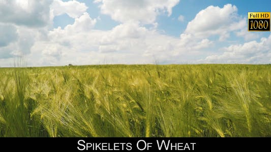 Thumbnail for Spikelets Of Wheat 5
