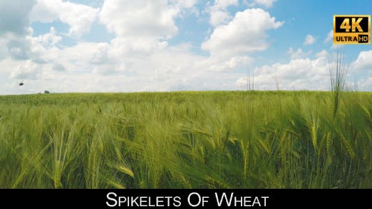 Thumbnail for Spikelets Of Wheat 6