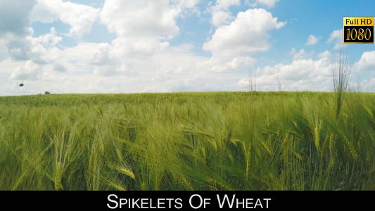 Cover Image for Spikelets Of Wheat 6