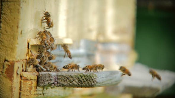 Thumbnail for Bee Flying In Front Of a Beehive