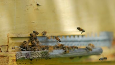 Bees At Entrance Of Beehive