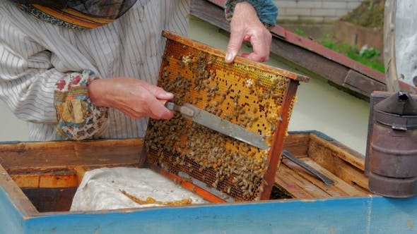 Beekeeper Remove Zabrus With Special Bee Knife