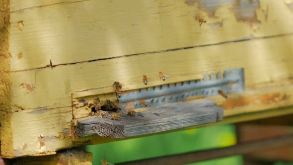 Bees Flying Around Their Beehive