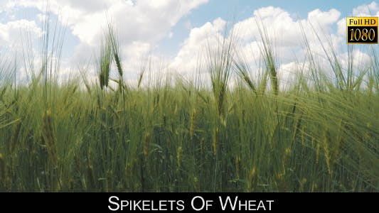 Thumbnail for Spikelets Of Wheat 7