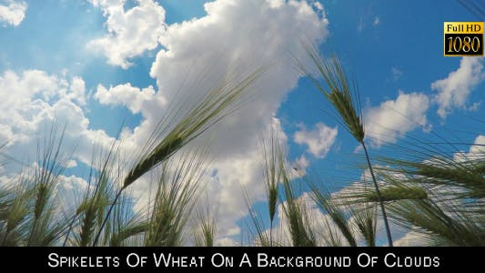 Cover Image for Spikelets Of Wheat On A Background Of Clouds
