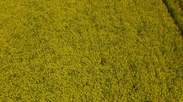 Thumbnail for Yellow Oilseed Rape Field