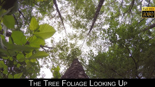Thumbnail for The Tree Foliage Looking Up 7