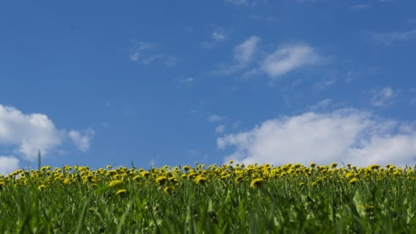 Thumbnail for Yellow Dandelions in Green Grass Against Sunny Sky