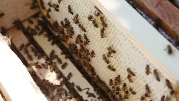 Thumbnail for Beekeeping. Working Bees On The Honeycomb With Sweet Honey. Honey Is Bee Keeping Healthy Produce