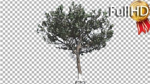 Italian Stone Pine Thin Tree in Winter Coniferous
