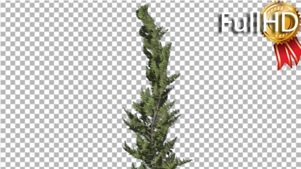 Thumbnail for Hollywood Juniper Curved Coniferous Evergreen