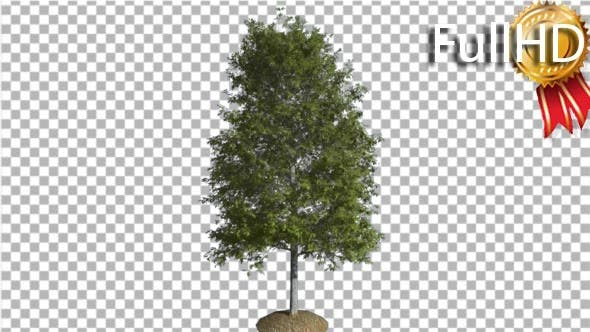 Thumbnail for Shingle Oak Tree is Swaying at the Wind Green