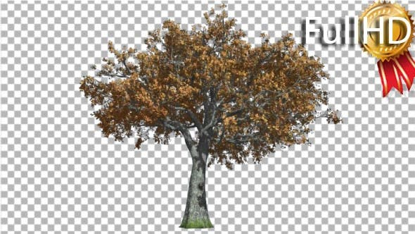 White Oak Tree is Swaying at the Wind Red and