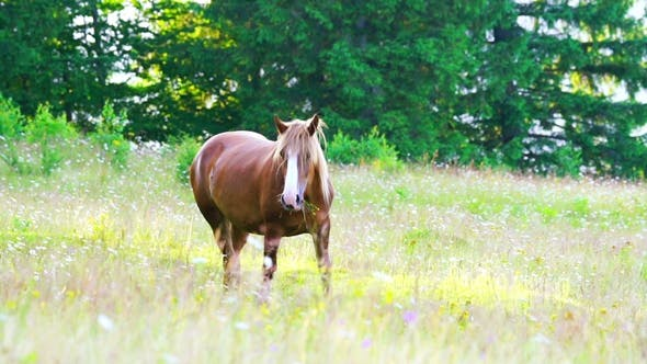 Thumbnail for Horse Grazing in a Meadow