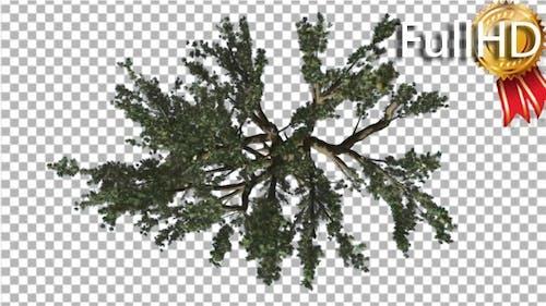 Cedar of Lebanon Tree Crown Top Down is Swaying