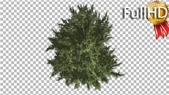 Thumbnail for Hollywood Juniper Tree Crown Top Down Coniferous