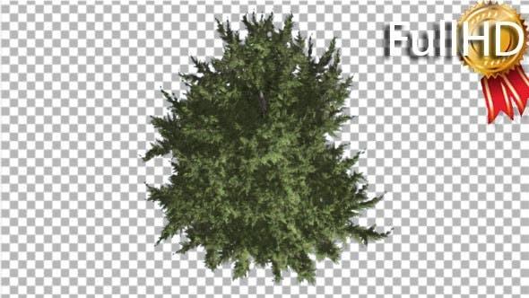 Hollywood Juniper Tree Crown Top Down Coniferous