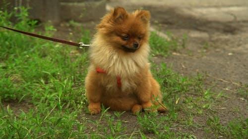 Small Dog Pomeranian Spitz Sitting on Green Grass
