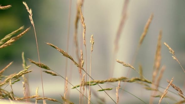 Thumbnail for Dry Grass Spike At Autumn Meadow. Furry Spike Grass In Morning Light