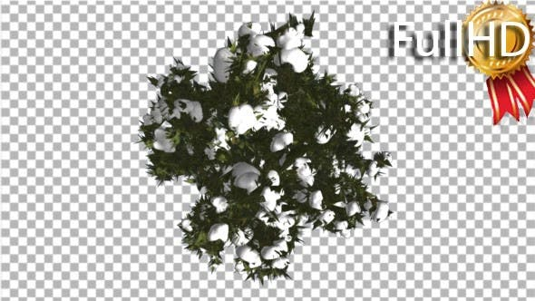 Thumbnail for Fir Top Down Douglas Fir Snow on Tree Branches