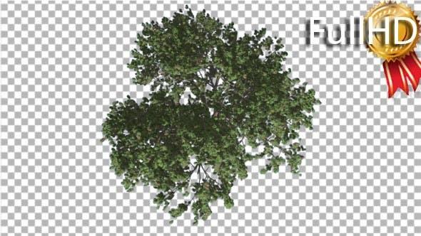 Italian Stone Pine Green Crown Top Down