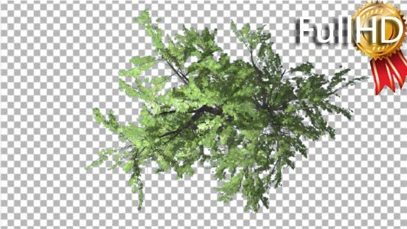 Thumbnail for Plitvice Maple Tree Swaying at the Wind Crown Top
