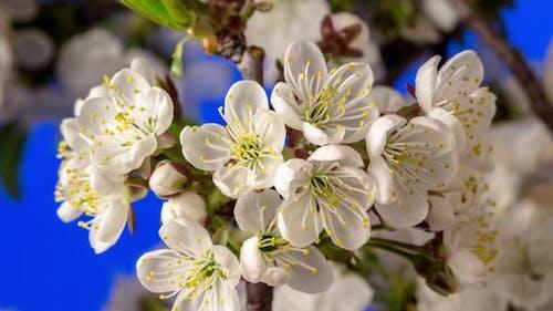 Sour Cherry Blossom Timelapse on Blue