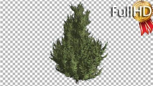Hollywood Juniper Branchy Tree Coniferous