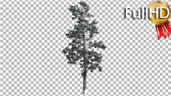 Thumbnail for Eastern White Pine Snow on a Branches Thin Tree