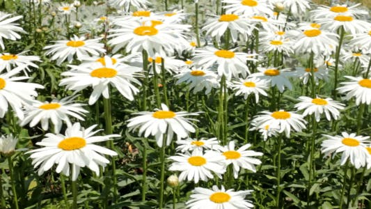 Cover Image for Large White Garden Daisy 1