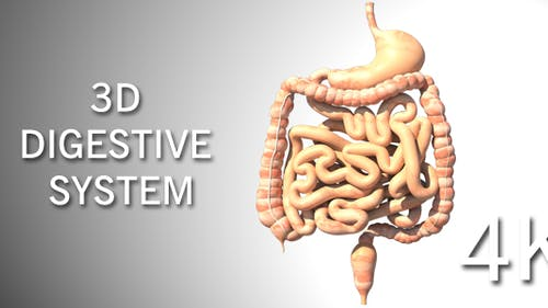 3D Digestive System