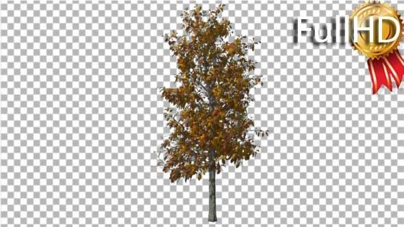 Sourwood Tree schwankt am Wind Yellow Tree
