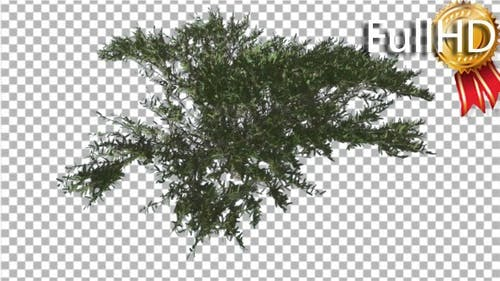 Umbrella Thorn Top Down Tree is Swaying at the