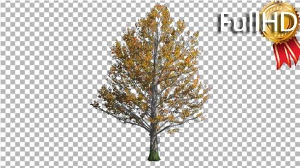 Thumbnail for Zucker-Ahornbaum schwankt am Wind Gelb