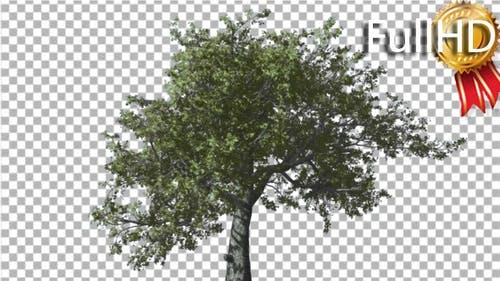 White Oak Tree is Swaying at Strong Wind Green
