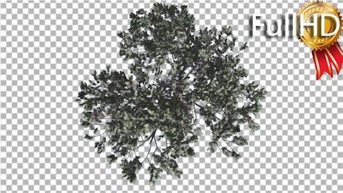 Italian Stone Pine Crown Top Down Winter