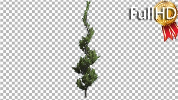 Hollywood Juniper Curved Thin Tree Coniferous