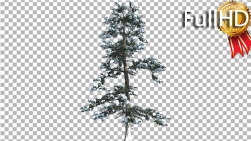 White Fir Snow on a Branches Thin Trunk Small