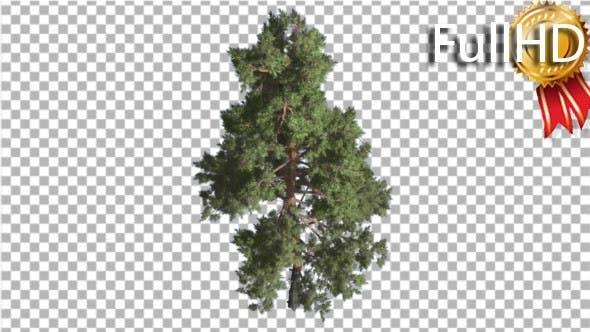 Cover Image for Scots Pine Pinus Sylvestris Glaucous Blue-Green