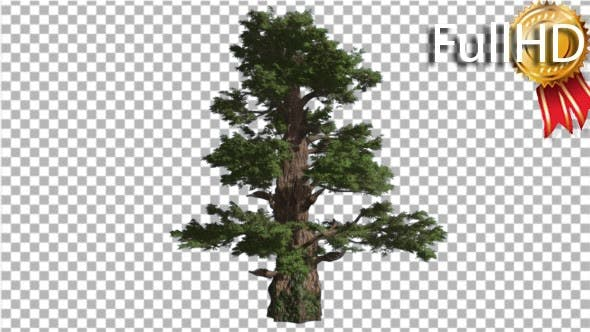 Western Juniper Coniferous Evergreen Tree