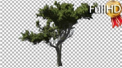 Monterey Cypress Bright Green Branchy Crown