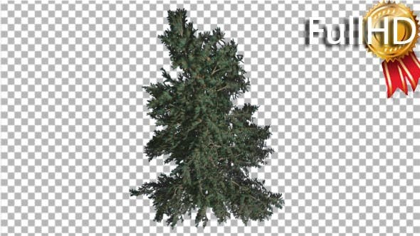 Thumbnail for White Fir Crown of Coniferous Evergreen Tree