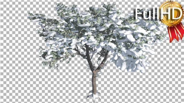 Italian Stone Pine Thin Tree in Winter Snow