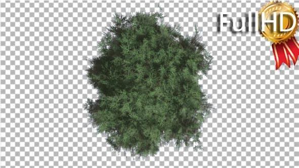 Thumbnail for Cedar Top Down Eastern Red Cedar Strong Tree