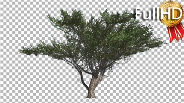 Thumbnail for Umbrella Thorn Tree is Swaying at the Wind Green