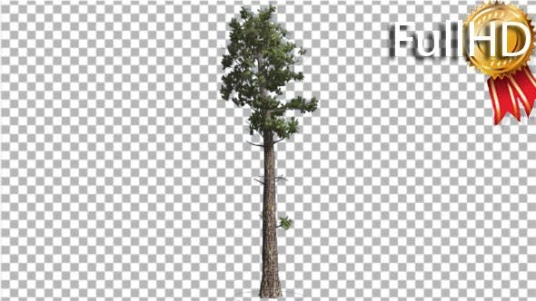 Thumbnail for Sample Conifer Pinophyta Coniferous Evergreen