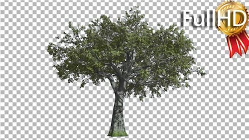 White Oak Tree is Swaying at the Wind Green Tree