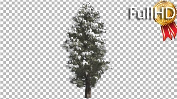Thumbnail for Eastern Red Cedar Snow on a Branches Thin Tree